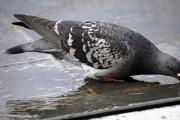 Costa Rica: Un pigeon interpellé pour trafic de drogue près d'une prison